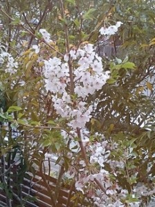 DSC_0067 桜-thumb-244x325-3794